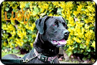 Great Dane Mix Dog for adoption in Los Angeles, California - LUCKY
