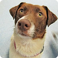 Adopt A Pet :: Amelia**ADOPTED** - Chicago, IL