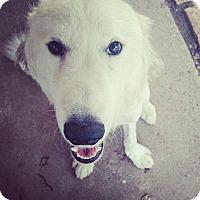 Adopt A Pet :: Groot - Austin, TX