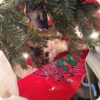 Adopt A Pet :: Screech - Gilbert, AZ