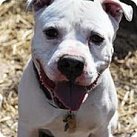 Adopt A Pet :: Shocker - Tinton Falls, NJ