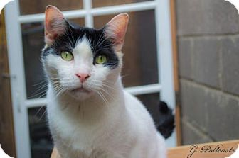 Domestic Shorthair Cat for adoption in Staten Island, New York - Oreo