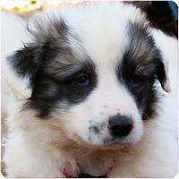 Adopt A Pet :: Pipkin - Kyle, TX