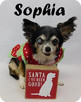 Chihuahua Dog for adoption in Arcadia, Florida - Sophia