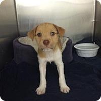 Adopt A Pet :: Charlie - Bradenton, FL