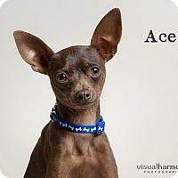 Adopt A Pet :: Ace - Chandler, AZ