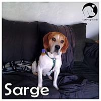 Adopt A Pet :: Sarge - Novi, MI