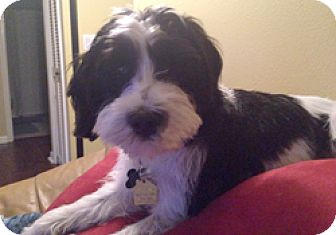 Poodle (Miniature)/Terrier (Unknown Type, Small) Mix Puppy for adoption in Melbourne, Florida - MAXX