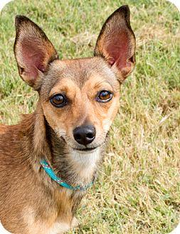 Dachshund/Chihuahua Mix Dog for adoption in Norwalk, Connecticut - Rita