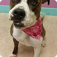 American Bulldog Mix Dog for adoption in Minneapolis, Minnesota - Brooke