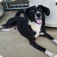 Adopt A Pet :: Hailey - Kimberton, PA