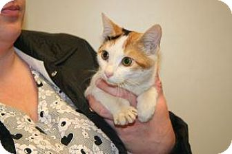 Domestic Shorthair Cat for adoption in Wildomar, California - Star