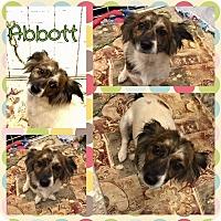 Adopt A Pet :: Abbott - New Milford, CT