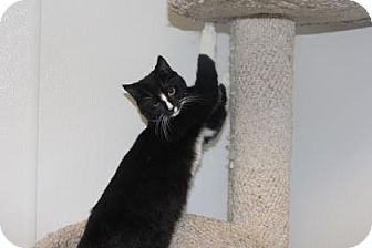 Domestic Shorthair Kitten for adoption in Greensboro, North Carolina - Balthasar
