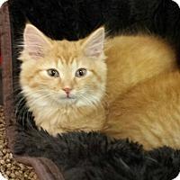 Domestic Mediumhair Kitten for adoption in Jeannette, Pennsylvania - Thor
