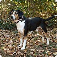 Beagle Mix Dog for adoption in Allentown, Pennsylvania - BARNEY FIFE