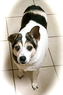 Rat Terrier Mix Dog for adoption in Franklin, Indiana - Cooper