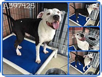 American Staffordshire Terrier Dog for adoption in San Antonio, Texas - BRUCE