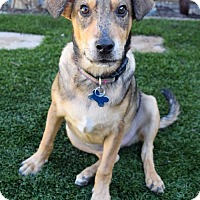 Adopt A Pet :: Shindy Pup - Saddle - San Diego, CA