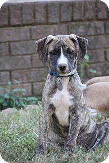 Hound (Unknown Type) Mix Puppy for adoption in Huntsville, Alabama - Ryder