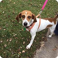 Beagle Mix Dog for adoption in Minneapolis, Minnesota - Loretta