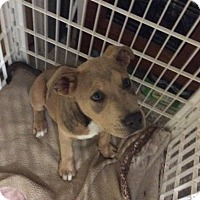 Adopt A Pet :: Boofle - Rexford, NY