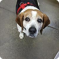 Adopt A Pet :: Blu - Pottsville, PA