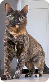Calico Cat for adoption in Merrifield, Virginia - Sophie