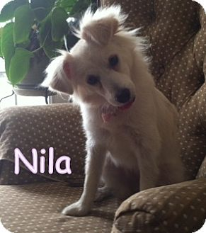 Pomeranian/Spitz (Unknown Type, Small) Mix Puppy for adoption in New Jersey, New Jersey - Spring Lake NJ - Nila
