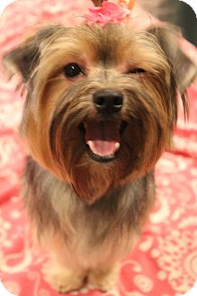 Yorkie, Yorkshire Terrier/Maltese Mix Dog for adoption in Hamburg, Pennsylvania - Daisy Mae
