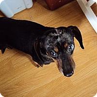 Adopt A Pet :: CHILIE DOG - Portland, OR
