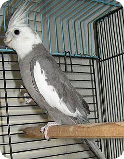 Cockatiel for adoption in Tampa, Florida - Blake