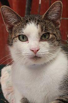 Domestic Shorthair Cat for adoption in Savannah, Missouri - Harold