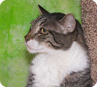 Domestic Shorthair Cat for adoption in Elmwood Park, New Jersey - Kelly
