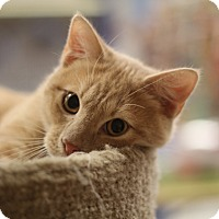 Adopt A Pet :: Pete le chat - Richmond, VA