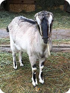 Goat for adoption in Maple Valley, Washington - Opehlia & Lula