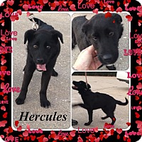 Adopt A Pet :: Hercules meet me 2/13 - East Hartford, CT