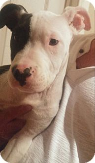 American Staffordshire Terrier Puppy for adoption in Los Angeles, California - Rocky