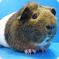 Guinea Pig for adoption in Lewisville, Texas - Frank