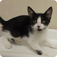 Domestic Shorthair Kitten for adoption in Apple Valley, California - Sally #156607