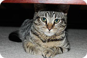 Domestic Shorthair Kitten for adoption in Smyrna, Georgia - Guinness