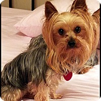 Adopt A Pet :: SADIE SUE in Bryant, AR. - Seymour, MO