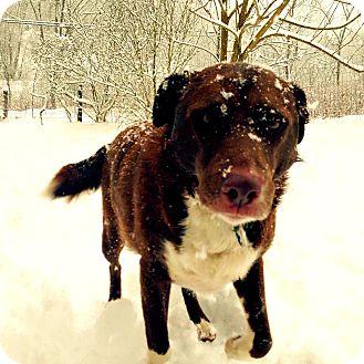 Australian Shepherd/Chesapeake Bay Retriever Mix Dog for adoption in Randolph, Massachusetts - Maggie