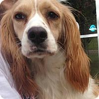 Adopt A Pet :: Daisy - NEEDS SPONSOR FOR HEARTWORM TREATMENT! - Hartford, CT