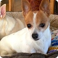 Chihuahua Mix Dog for adoption in Ft Myers Beach, Florida - Rub my belly!!!