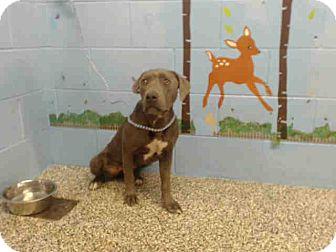 Pit Bull Terrier Mix Dog for adoption in San Bernardino, California - URGENT on 10/15 SAN BERNARDINO