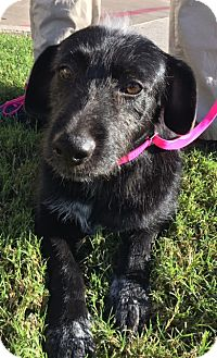 Terrier (Unknown Type, Medium) Mix Dog for adoption in Fort Worth, Texas - Carrot Top