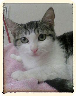 Domestic Shorthair Kitten for adoption in Trevose, Pennsylvania - Dakota