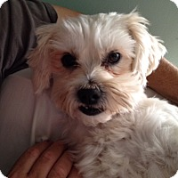 Adopt A Pet :: Chuck Terrier Charlie - Redondo Beach, CA