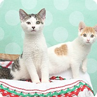 Domestic Shorthair Kitten for adoption in Chippewa Falls, Wisconsin - Zulu